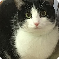 Domestic Shorthair Cat for adoption in Ridgecrest, California - Sally