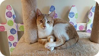 Domestic Shorthair Cat for adoption in Maryville, Tennessee - Sneezy