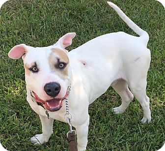 American Bulldog/Labrador Retriever Mix Dog for adoption in Homestead, Florida - Honky Tonk