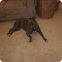 Pit Bull Terrier Mix Dog for adoption in La Habra, California - Bella (Courtesy List)