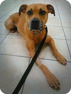 Boxer Mix Dog for adoption in Elburn, Illinois - Ainsley **Courtesy Post**