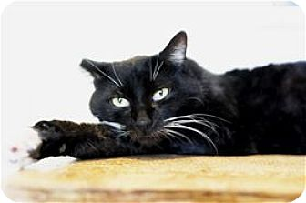 Domestic Shorthair Cat for adoption in Lincoln, California - Sam