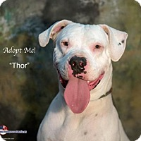 Adopt A Pet :: Thor - Acton, CA