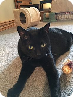 Manx Cat for adoption in Kenai, Alaska - Boogeyman