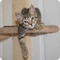 Domestic Shorthair Kitten for adoption in Schertz, Texas - Zebedee TG