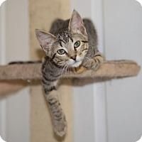 Adopt A Pet :: Zebedee TG - Schertz, TX
