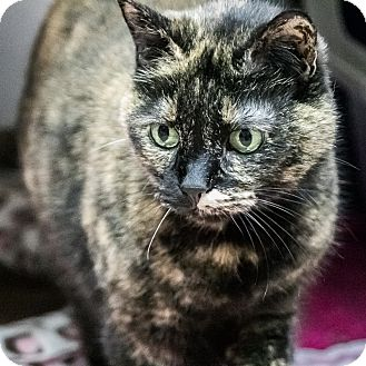 Domestic Shorthair Cat for adoption in Wheaton, Illinois - Clementine