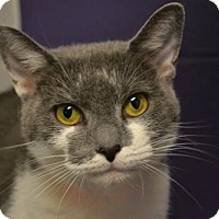 Domestic Shorthair Cat for adoption in Akron, Ohio - Sheila