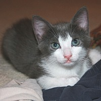Domestic Shorthair Kitten for adoption in Houston, Texas - Pudge