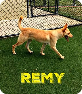 Carolina Dog Mix Dog for adoption in Cranston, Rhode Island - Remy (fostered in Texas)