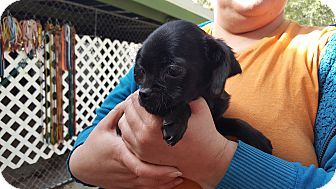 French Bulldog/Chihuahua Mix Puppy for adoption in Antioch, Illinois - Chastity