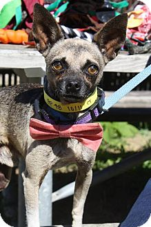 Chihuahua Mix Dog for adoption in Poughkeepsie, New York - Peter