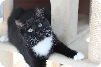 Domestic Mediumhair Kitten for adoption in Richmond, Virginia - Mischief