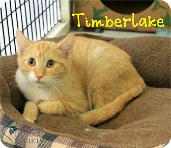 Domestic Shorthair Kitten for adoption in Covington, Louisiana - Timberlake