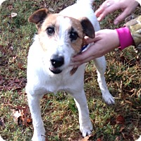 Jack Russell Terrier/Terrier (Unknown Type, Small) Mix Dog for adoption in Mountain View, Arkansas - Neo