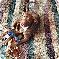 Labrador Retriever Mix Dog for adoption in Springfield, Missouri - Orion