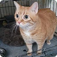 Adopt A Pet :: Goldie - Jackson, MO