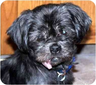 Shih Tzu Dog for adoption in Edmeston, New York - Mia-NY