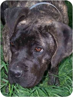 Mastiff Mix Puppy for adoption in Moreno Valley, California - Molly