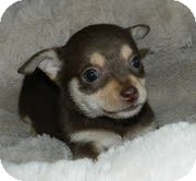 Chihuahua Mix Puppy for adoption in Allentown, Pennsylvania - Lilly Putt