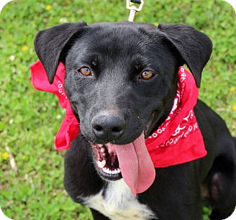 Labrador Retriever Mix Dog for adoption in Charlemont, Massachusetts - Rosie