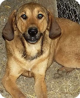 Hound (Unknown Type) Mix Dog for adoption in Savannah, Missouri - Kendra