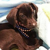 Adopt A Pet :: Goblin - Vacaville, CA