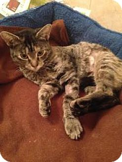 Domestic Shorthair Cat for adoption in Medford, New Jersey - HunnyBun