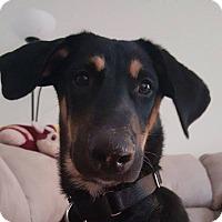 Adopt A Pet :: Jax - Winchester, VA