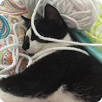 American Shorthair Cat for adoption in Jacksonville, Florida - Jedi