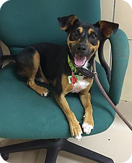 Terrier (Unknown Type, Medium) Mix Dog for adoption in Battle Creek, Michigan - Chaz