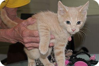 Domestic Shorthair Cat for adoption in Durham, North Carolina - Ari