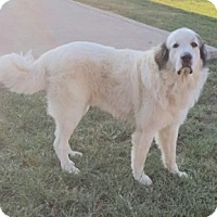 Great Pyrenees Dog for adoption in Haggerstown, Maryland - Sugar Bear