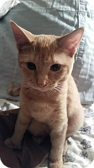 Domestic Shorthair Kitten for adoption in Middlebury, Connecticut - Charli