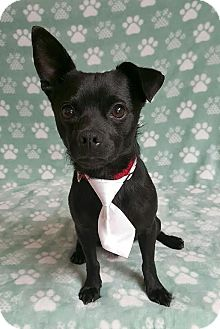Chihuahua/Terrier (Unknown Type, Small) Mix Puppy for adoption in Yucaipa, California - Mojo