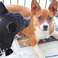 Beagle Mix Puppy for adoption in San Diego, California - Rhonda