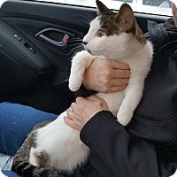 Adopt A Pet :: Kabota - Lacey, WA