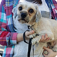 Shih Tzu Dog for adoption in Jackson, Tennessee - Willis