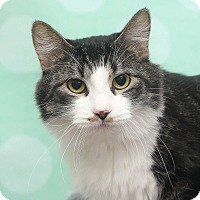 Domestic Mediumhair Cat for adoption in Chippewa Falls, Wisconsin - Talia