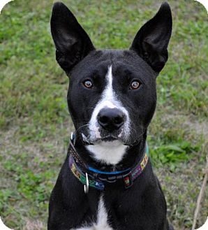 American Staffordshire Terrier Mix Dog for adoption in Westampton, New Jersey - Reggie *IN FOSTER*