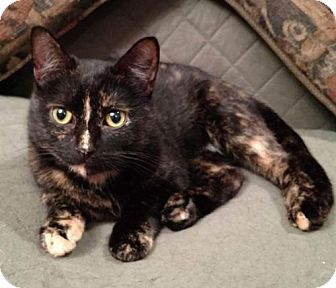 Domestic Mediumhair Cat for adoption in Rustburg, Virginia - Daiquiri-Fostered