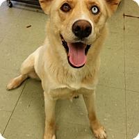 Adopt A Pet :: BLONDIE-heart worm negative! - Cleveland, MS