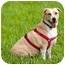Photo 2 - Labrador Retriever Mix Dog for adoption in Key Biscayne, Florida - Labby