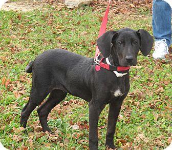 Great Dane/Hound (Unknown Type) Mix Puppy for adoption in Brattleboro, Vermont - Blitzen