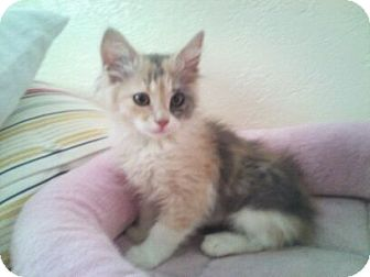 Calico Kitten for adoption in Modesto, California - Mahoney
