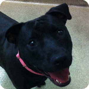 American Staffordshire Terrier/Labrador Retriever Mix Dog for adoption in Gilbert, Arizona - Fate