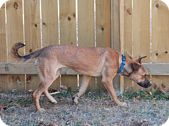 Labrador Retriever/Shepherd (Unknown Type) Mix Dog for adoption in Homewood, Alabama - Emma