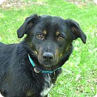 Adopt A Pet :: Drew - Mocksville, NC