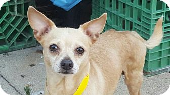 Chihuahua Dog for adoption in Studio City, California - Mugsy