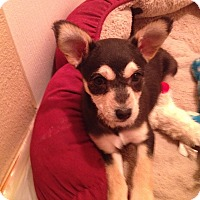 Adopt A Pet :: Torrie - Adoption Pending - Gig Harbor, WA